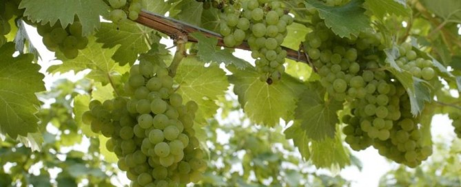 Riesling in the Northwest
